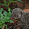 Baby mongoose. Look at the size of the clover compared to him!