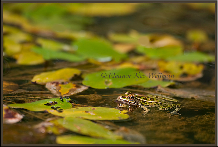 Northern Leopard Frog in Habitat