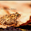 American Toad on Oak Leaves #1
