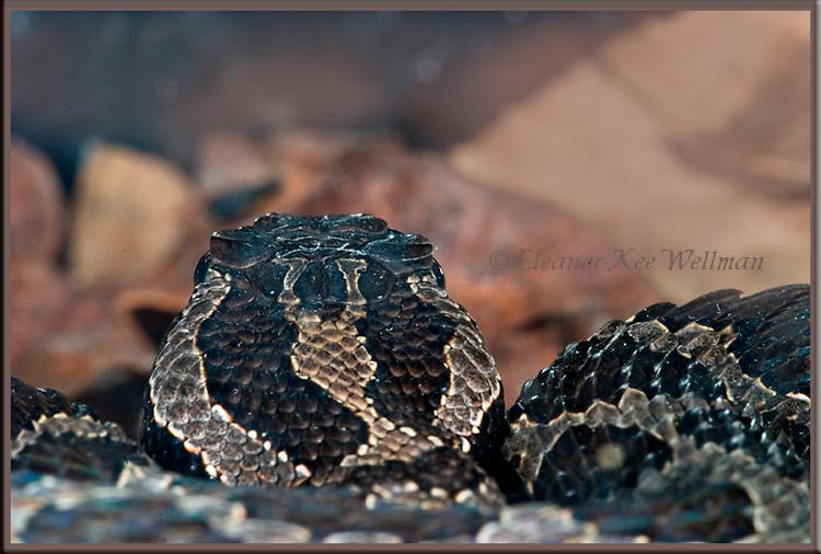Massasauga Rattlesnake Head Pattern.  Wild, Controlled
