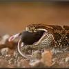 Massasauga Rattlesnake Swallowing - Wild, Controlled