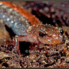 Eastern Red-backed Salamander, Close-up #2