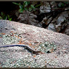 Five-lined Skink, Juvenile, Basking