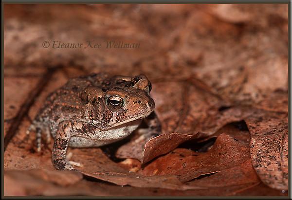 American Toad on Oak Leaves #2