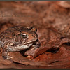 American Toad on Oak Leaves #2