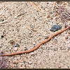 Red-bellied Snake on Sand