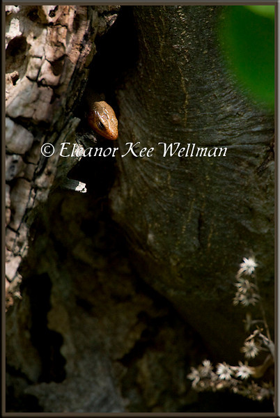 Five-lined Skink Emerging from Log