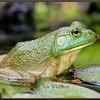 American Bullfrog Female, Pond Habitat
