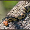 Eastern Foxsnake, Portrait on Tree, Captive