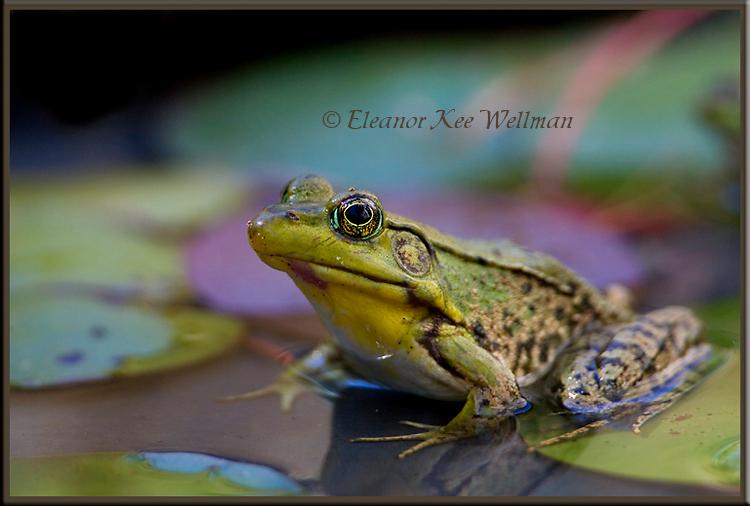Green Frog in Habitat