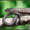 Northern Watersnake on Branch, Captive