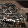 Massasauga Rattlesnake, Head Side-view.  Wild, Controlled