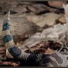 Massasauga Rattlesnake Tail.