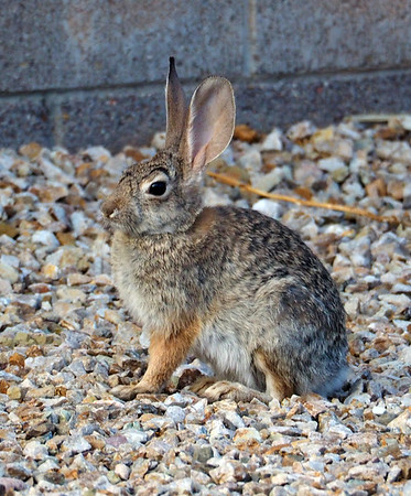 Rabbit In My Back Yard