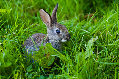 Young baby wild rabbit stand eating grass. Cathy Vercoe