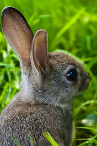 A very cute wild baby rabbit. Cathy Vercoe