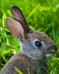 Close up of a very cute baby wild rabbit. Cathy Vercoe