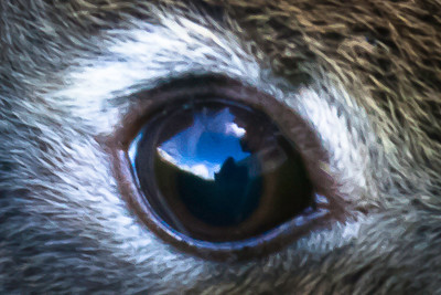 Close up of a young wild baby rabbit's eye. Cathy Vercoe