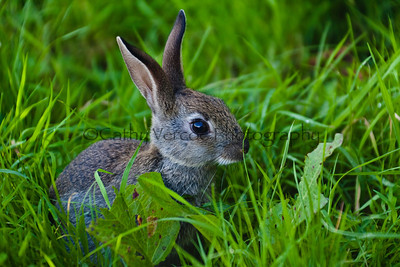 Young baby wild rabbit in the grass. Cathy Vercoe