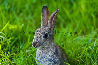 A young wild rabbit. Cathy Vercoe