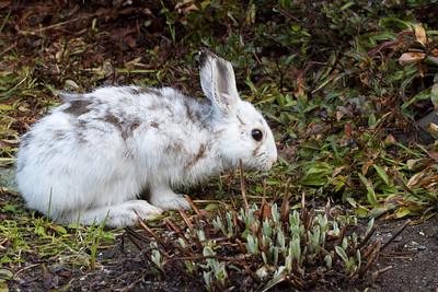 IMG_5519 - Snowshoe baby rabbit.