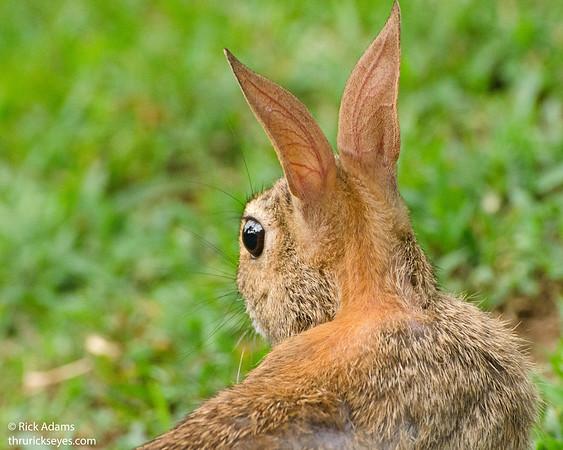 Natural Set of Rabbit Ears
