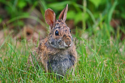 Cottontail Rabbit - 6/5/08