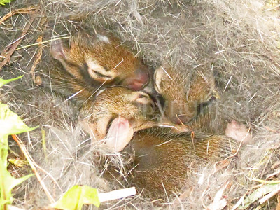Baby bunnies in a nest in our yard - 8/8/13