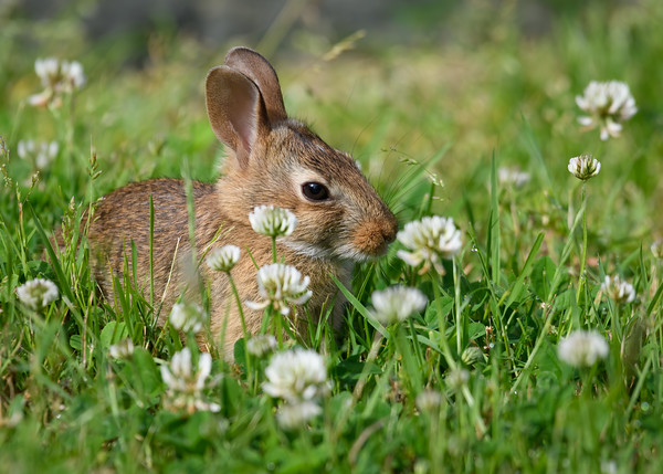 Young rabbit in clover