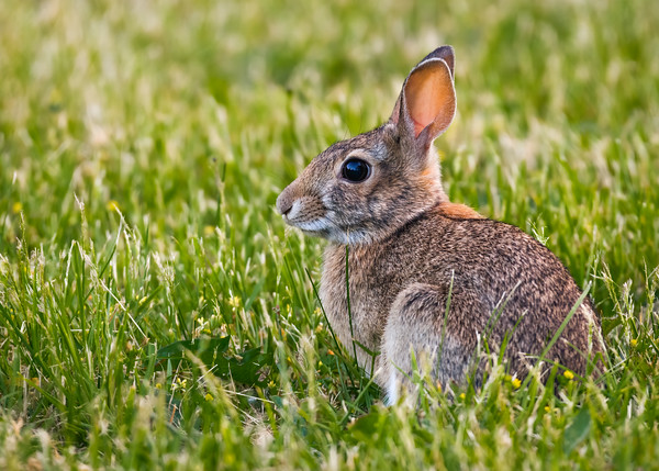 Young rabbit in the evening light