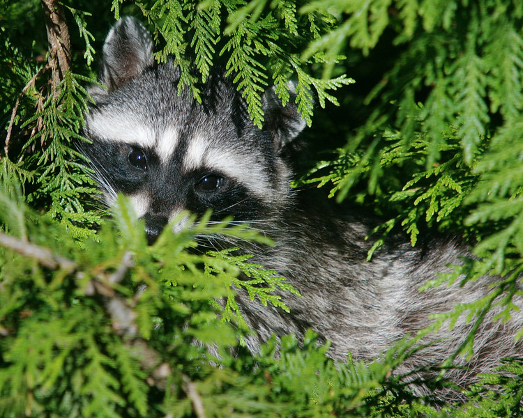 Raccoon in our backyard cedar.