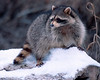 Raccoon on a long in the snow