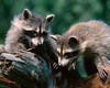 Young Racoons playing