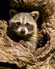 A young raccoon plays in a log