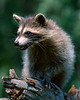 Young Racoon