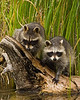 Raccoons playing on a log near the water