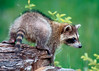A young racoon on a log