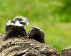 skunk striped ( Mephitis mephitis)