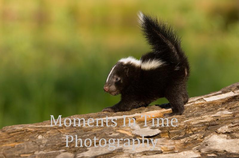 Skunk striped (Mephitis mephitis )