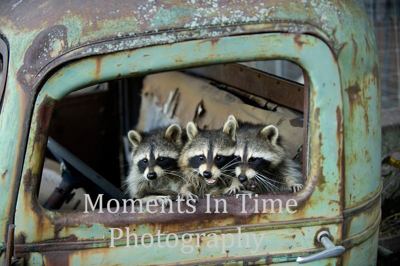 raccoon ( Procyon Lotor)