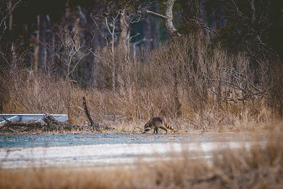 Chincoteague National Wildlife Refuge, Virginia | March 2014