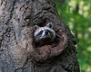 Mother raccoon emerging from her den in an oak tree.  Testing the air for interesting or useful smells.<br /> May 22, 2011