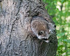 Mother raccoon emerging from her den in an oak tree.<br /> May 22, 2011