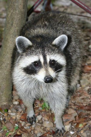 Racky(mother racoon)