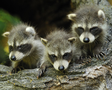 Raccoon KIts age about 7 weeks