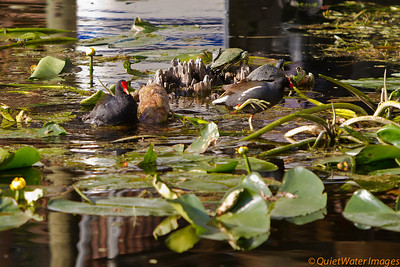 Common gallinules and turtles