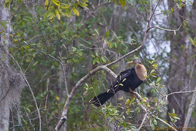 American Anhinga (darter) - female