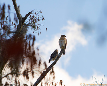 Pair of red-tailed hawks