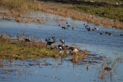 Grelag Geese