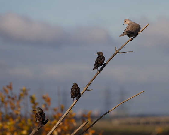 Starlings and Collared Dove